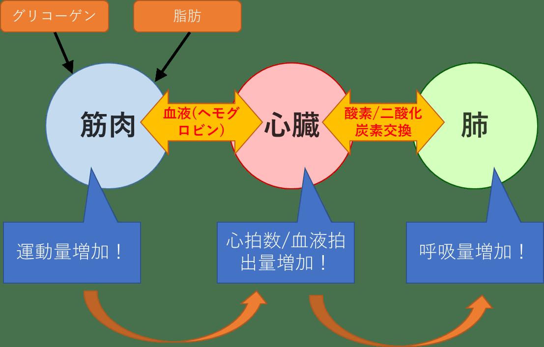 運動時の筋肉/心臓/肺の関係性について解説!